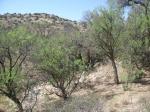 Bell's Vireo habitat, Arizona, outside Tuscon, Pima County
