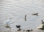 Red-breasted Mergansers and Snowy Egret cooperatively hunting