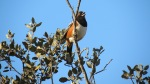 Spotted Towhee, Mission Trails Regional Park