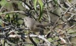 Wrentit, Mission Trails Regional Park