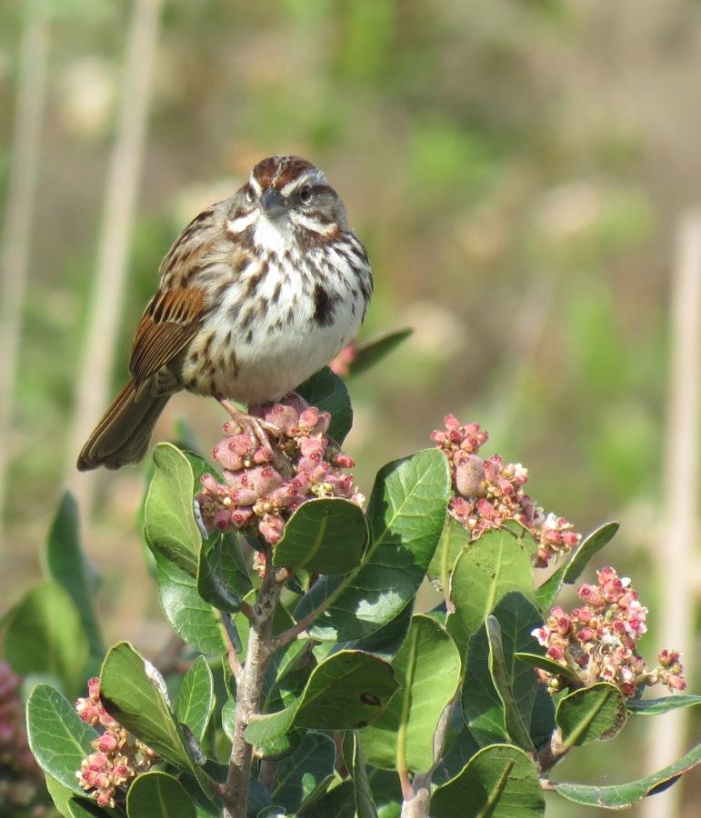 Song Sparrow on Lemonadeberry, San Elijo Lagoon