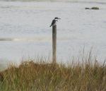 Belted Kingfisher, San Elijo Lagoon