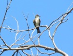 Olive-sided Flycatcher, Mission Trails Regional Park