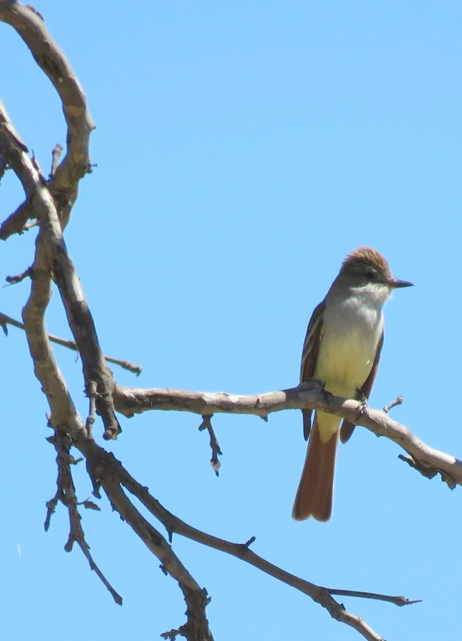 Ash-throated Flycatcher, Mission Trails Regional Park