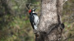 Acorn Woodpecker, Mount Laguna