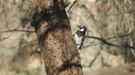 Acorn Woodpecker, Laguna Mountains