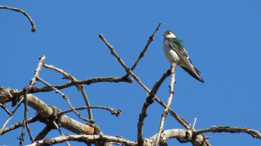 Violet-green Swallow, Laguna Mountains