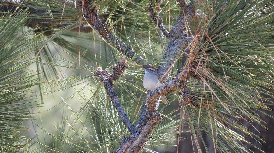Chipping Sparrow, Laguna Mountains