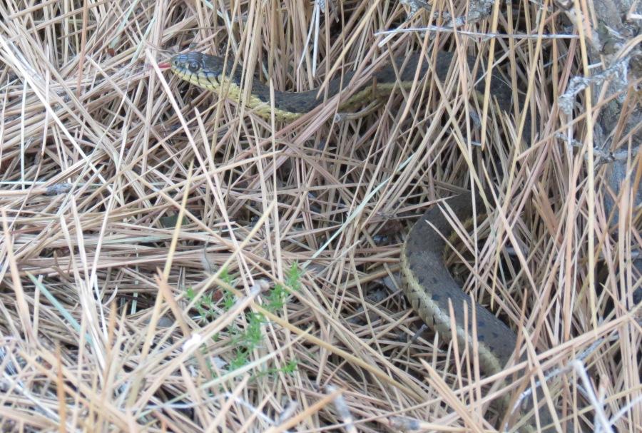 Thamnophis hammondi (Two-striped Garter Snake)