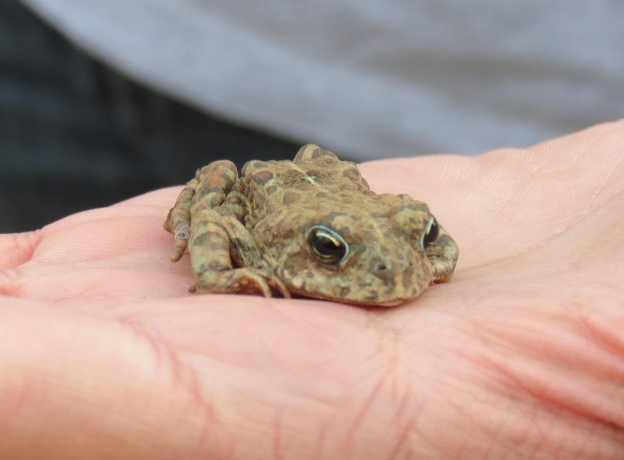 Western or Boreal Toad (Anaxyrus [Bufo] boreas)