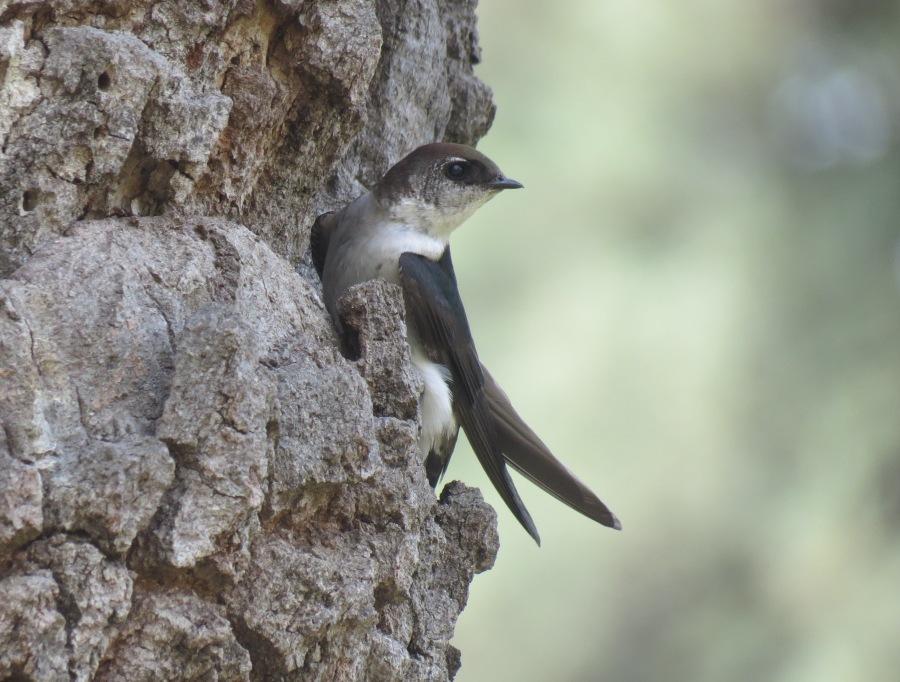 Violet-green Swallow, Mount Laguna