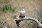 Lark Sparrow, Mount Laguna