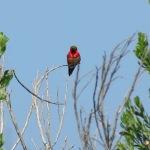 Allen's Hummingbird, San Elijo Lagoon