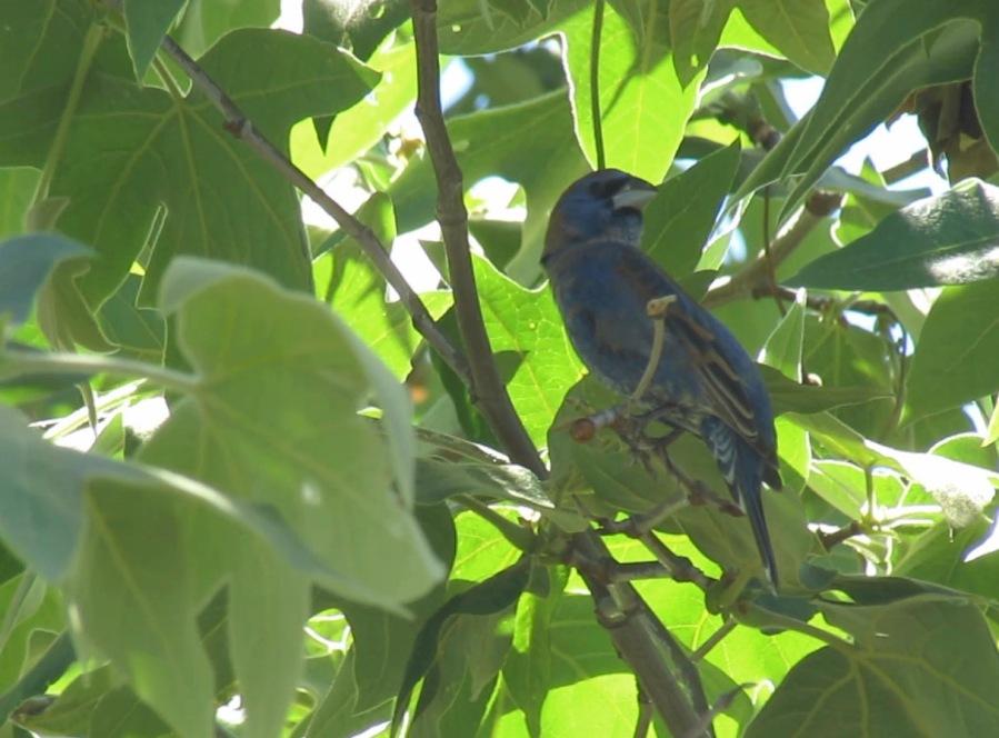 Blue Grosbeak, Mission Trails