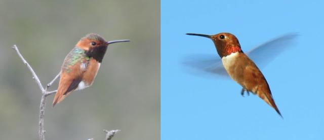 AllensRufousHummingbirds